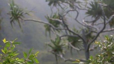 Lush, green, palm treetops in Oahu — Stock Video
