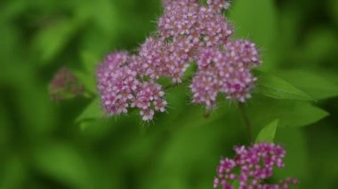 Pink bush of wildflowers — Vídeo de Stock