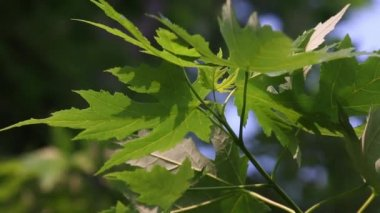 Curled Silver Maple leaves in nature — Stock Video