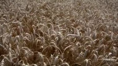 Wheat field blowing in the wind — Stock Video