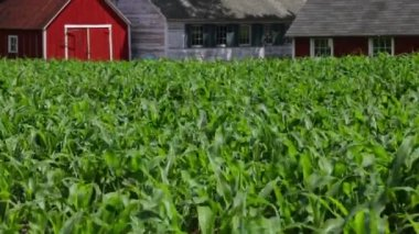 Young corn stalks wave in the wind — Stock Video