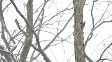 A woodpecker pecks on a tree — Stock Video