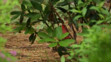 A red Northern Cardinal hides — Stock Video