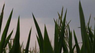 Top of corn stalks at dusk — Stock Video