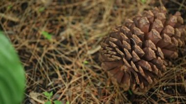 A pinecone on the ground — Wideo stockowe