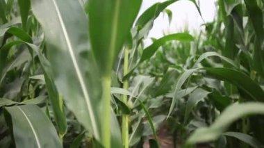 Pan left in a windy corn field — Stock Video