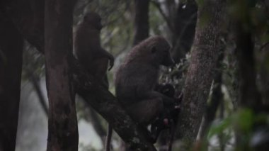 A group of baboons in a tree — Stock Video