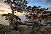 Pines coast. — Zdjęcie stockowe