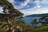 Pines on a wild sea shore. — Stock Photo