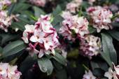 Flowers bloom in spring emit a nice fragrance, daphne — Stock Photo