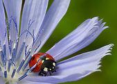 Coccinelle et fleur — Photo