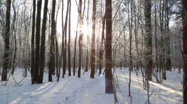 Winter forest, lit by the sun, in calm weather — ストックビデオ