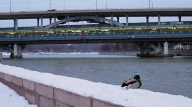Duck on a winter promenade — Стоковое видео