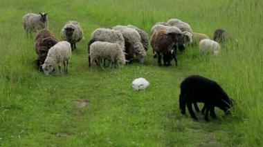 Sheep graze in a field — Stock Video