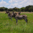 Постер, плакат: Herd of zebras are seen in Lake Chivero Recreational Park near Harare Zimbabwe