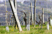Unripe vineyard in Monferrato, springtime. Color image — Stock Photo