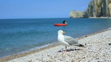 Close-up of a cautious gull on a shingle beach in Etretat, Normandy, France — Stock Video