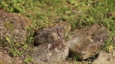 Lizard basking (sitting) on rocks and hiding — Stock Video