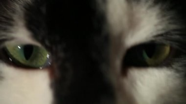 Three-color cat muzzle — Stock Video