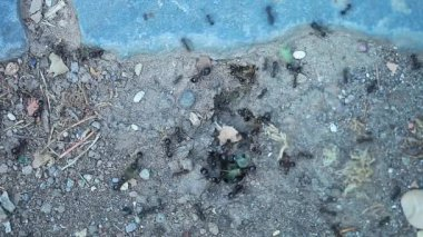 Leaf cutter ants — Stock Video
