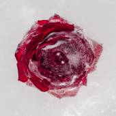 Rose flower frozen into ice block. Close-up. — Stock Photo