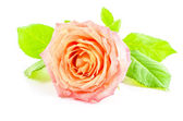 Rose flower on white background — Stock Photo