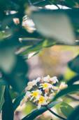 Plumeria — Zdjęcie stockowe