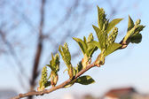 Bird cherry tree buds  — Foto de Stock