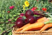 The carrots and beet lying on a table in a garden — Stock Photo