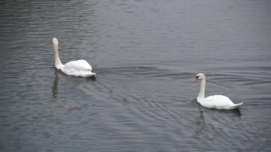 White swans on the water — Stock Video