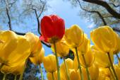 Yellow tulips and one red — Stock Photo