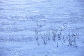 Reeds in a frozen lake — Stock Photo