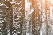 Pine Tree Forest and Winter Snow — Stock Photo