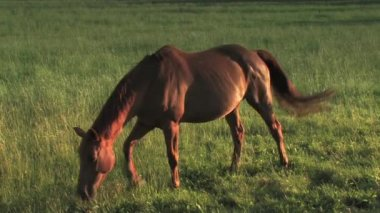 One Horse on a meadow — Stock Video
