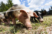 Group of Iberian pig in the meadow — Stock Photo