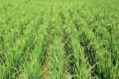 Hybrid Rice Plant Field — Stock Photo