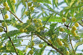 Indian Gooseberry, Phyllanthus Emblica  — Foto Stock