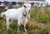 He-goat in outdoor. — Stock Photo