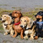 Dachshund family. — Stock Photo #65000739