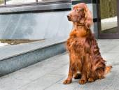 Irish Setter haunches. — Stock Photo