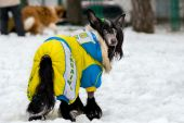 Chinese crested dog uniformed. — Stock Photo