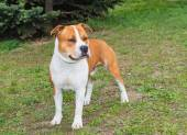 American Staffordshire Terrier straight. — Stock Photo