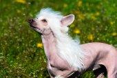 Chinese crested dog white. — Stockfoto