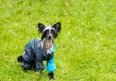 Chinese crested dog runs. — Stock Photo