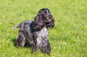 Russian Spaniel stands. — Stock Photo