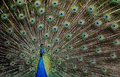 Peacock showing its splendor — Stock Photo