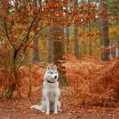 Siberian Husky — Stock fotografie