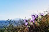 Rododendrony i kwiaty w Ałtaju — Zdjęcie stockowe
