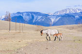 Horses striding in Altai steppe — Stock Photo