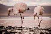 Flamingos drinking from a lake — Foto de Stock